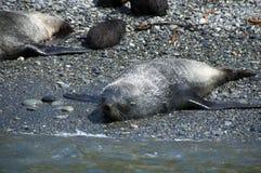 Fur seal sun baking on beach stock photo