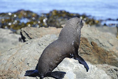 Fur Seal sun bathing Royalty Free Stock Photos