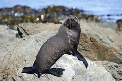 Fur Seal sun bathing. Kaikoura Coast, South Island, New Zealand Stock Images