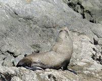 Fur Seal sun bathing. Kaikoura Coast, South Island, New Zealand Royalty Free Stock Photo