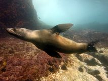 Fur seal swimming. Fur seal (Arctocephalus) moving swiftly through the water stock photo