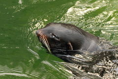 Fur-seal. Swimming on the green water stock image
