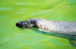 Fur Seal. Stock Photos