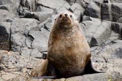 Fur seal - Tasmania Stock Image
