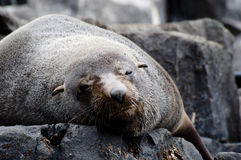 Fur seal - Tasmania Royalty Free Stock Photography