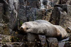 Fur seal - Tasmania Royalty Free Stock Images
