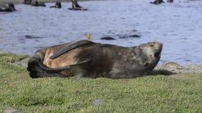 Fur Seal stock video