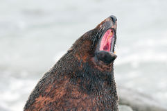 Fur Seal Voicing its Opinion Stock Photography