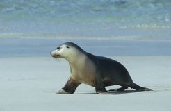 Fur seal walking on beach Royalty Free Stock Photos