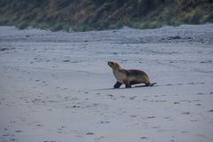 Fur seal walking towards the ocean at Allans beach stock images