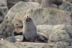 Fur Seal on watch duty Stock Photography