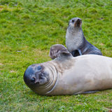 Fur Seal waving flipper with Pup royalty free stock photography