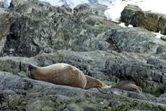Fur seal and Weddell Seal on rocks in Antarctica. Antarctic fur seal and a Weddell seal lying on rocks with a snow covered slope in the background in Antarctica Royalty Free Stock Photo
