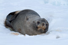 Fur seal which lies on the ice of the Antarctic beach Royalty Free Stock Photos