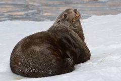 Fur seal which lies in the snow on the shore of aocean Royalty Free Stock Photo