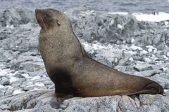Fur seal which lies on the stones of the rocky Royalty Free Stock Photo