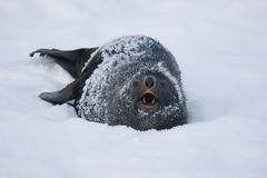 Fur Seal, who growls. Fur seal, which is lying in the snow snarls Stock Photo