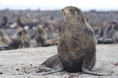 Fur-seals Stock Photo
