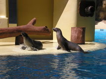 Fur Seals Royalty Free Stock Photography