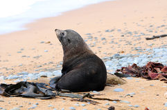 Fur seals Stock Images