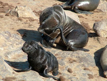 Fur Seals royalty free stock photos
