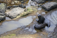 Fur seals Stock Image