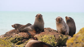 Fur seals Stock Photo