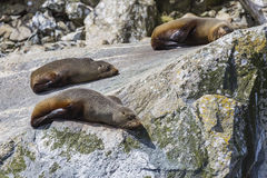 Fur seals (Arctocephalus forsteri) colony in Milford Sound, Fiordland National Park. Southland - New Zealand stock photography