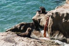 Fur seals basking on rocks Royalty Free Stock Photography
