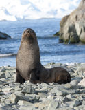 Fur seals on the beach in the Antarctic Ocean. In the background of rocks Stock Photo