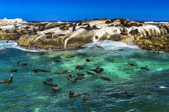 Fur seals on Duiker Island. Republic of South Africa. Duiker Island Seal Island near Hout Bay Cape Peninsula, Cape Town. Cape fur seal colony Arctocephalus Royalty Free Stock Images