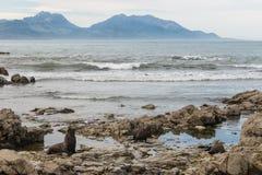 Fur seals at Kaikoura coast Stock Photos