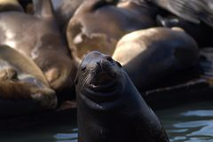 Fur seals  looks directly at the viewer Stock Images