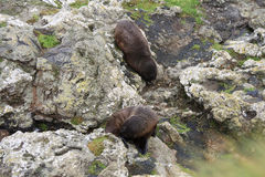 Fur seals near the water stock photography