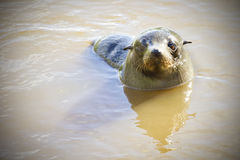 Fur seals in New Zealand Royalty Free Stock Photography
