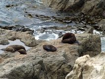 Fur Seals, New Zealand Royalty Free Stock Photo