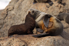 Fur Seals Nuzzling. A mother and baby Southern Fur Seal nuzzling in a rookery in the South Pacific Stock Photo