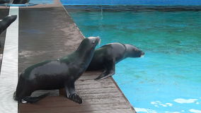The fur seals stock video footage