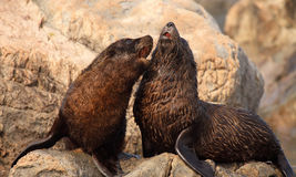 Fur Seals Playing. A pair of Southern Fur Seals playing in the South Pacific Royalty Free Stock Photography