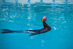Fur Seal in the pool Royalty Free Stock Images