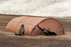 Fur seals playing in the ruins of whaler station at Deception Is. Land , Antarctic Stock Images
