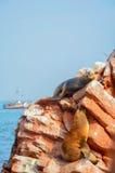 Fur Seals (sea Lions) Sunbathing On The Ballestas Islands Red Cliffs, In Peru Stock Photo