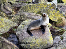Fur Seals. Fur Seal - Seals Colony at Cape Foulwind. West Coast.New Zealand Royalty Free Stock Photo