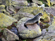 Fur Seals. Fur Seal - Seals Colony at Cape Foulwind. West Coast.New Zealand Stock Image