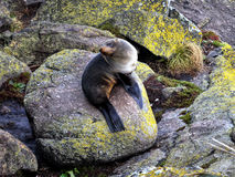 Fur Seals. Fur Seal - Seals Colony at Cape Foulwind. West Coast.New Zealand Stock Photo