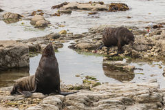 Fur seals searching for food Royalty Free Stock Images