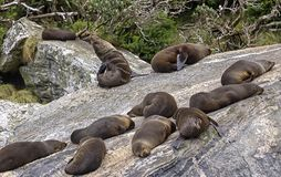 Fur Seals, sleeping in a Seal Colony, Milford Sound, New Zealand. Fur Seals, sleeping in a Seal Colony, Milford Sound, South Island, New Zealand royalty free stock photo