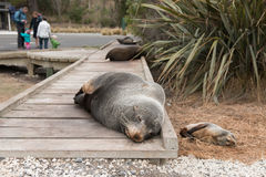 Fur seals sleeping on wooden path Stock Image