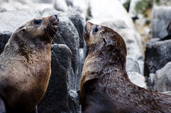 Fur seals - Tasmania Royalty Free Stock Photography