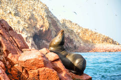 Fur seals (sea lions) sunbathing on the Ballestas Islands red cliffs, in Peru Stock Images